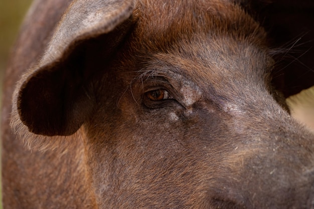 Porco preto criado em chiqueiro com foco seletivo