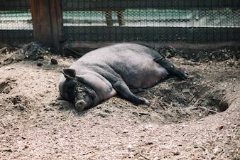 Porco preto deitado no solo na fazenda