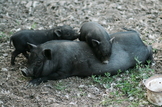 Porco preto vietnamita barrigudo. porcos herbívoros