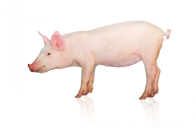 Porco rosa isolado, vista lateral