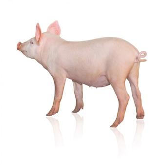 Porco rosa isolado, vista traseira