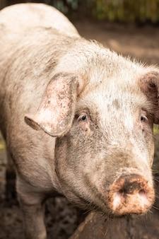 Porco rosa na lama