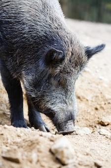 Porco selvagem na floresta de verão