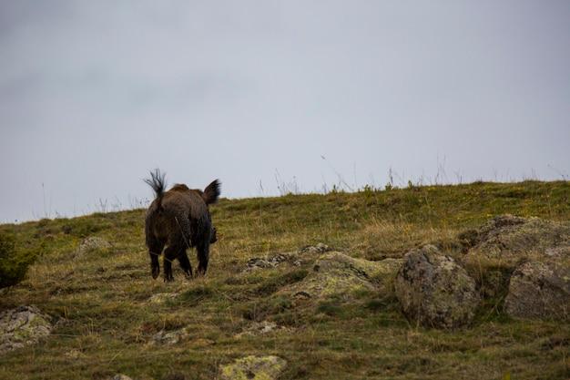 Porco selvagem na primavera em capcir, pirineus, frança