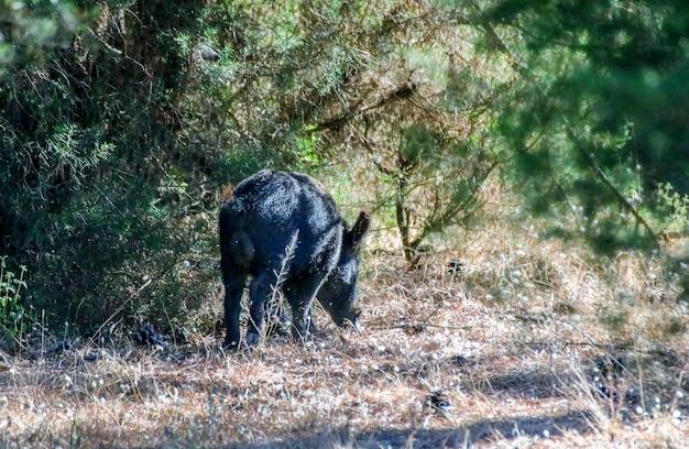 Porco selvagem no parque nacional.