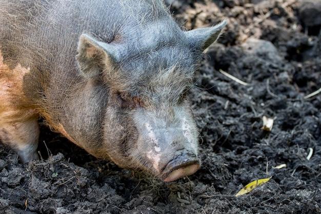 Porco vietnamita em uma fazenda entre pântanos em tempo ensolarado. porco nojento_