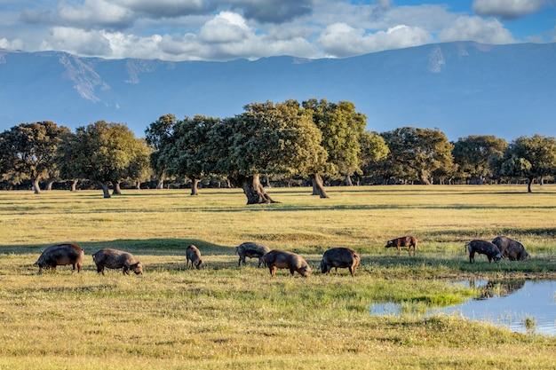 Porcos comendo no campo durante o outono