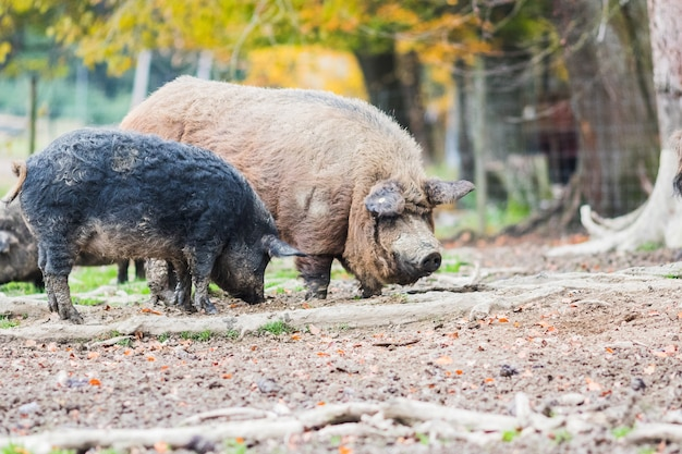 Porcos da raça mangálica