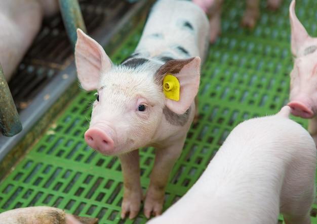 Porcos-de-rosa na fazenda suínos na fazenda criação de porcos para atender à crescente demanda por carne
