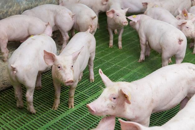 Porcos-de-rosa na fazenda suínos na fazenda indústria da carne criação de porcos para atender