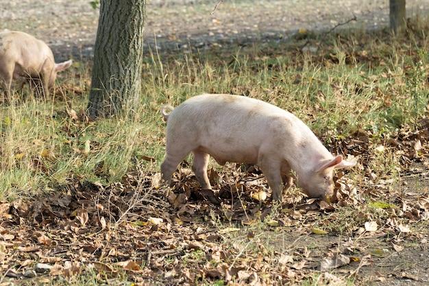 Porcos-de-rosa na fazenda suínos na fazenda indústria da carne criação de porcos