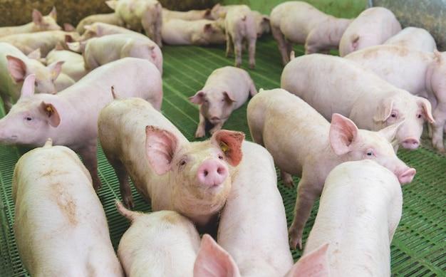 Porcos-de-rosa na fazenda. suínos na fazenda. indústria de carne