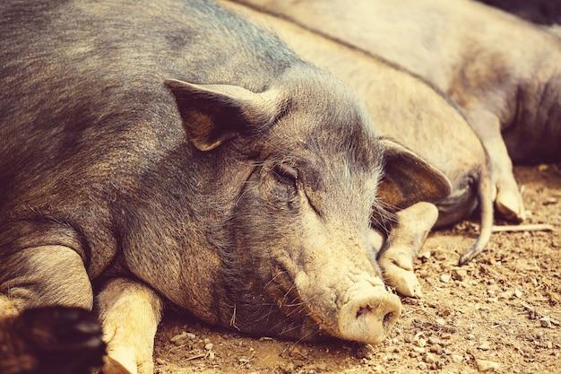 Porcos do vietnã em campo verde