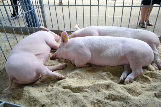 Porcos dormem no estábulo dormindo porcos no curral na feira de gado