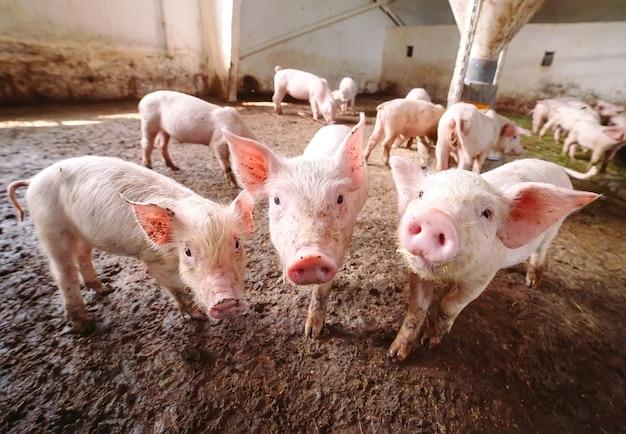 Porcos em uma fazenda