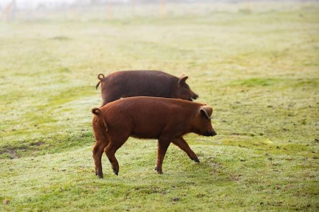 Porcos ibéricos em pastoreio