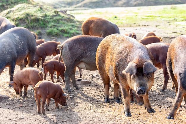 Porcos ibéricos pastando em uma fazenda
