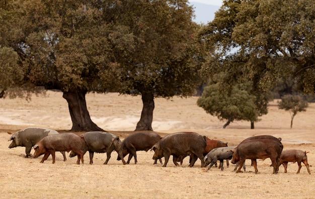 Porcos ibéricos pastando entre os carvalhos