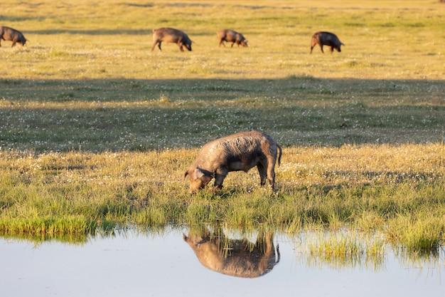 Porcos ibéricos pastando no campo