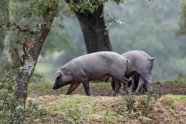 Porcos ibéricos pastando