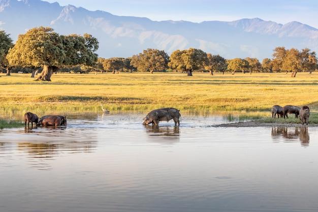 Porcos ibéricos tomando um banho de lama
