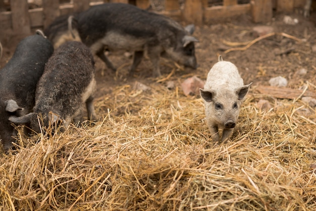 Porcos no chiqueiro de uma fazenda