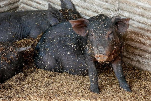 Porcos pequenos pretos na fazenda