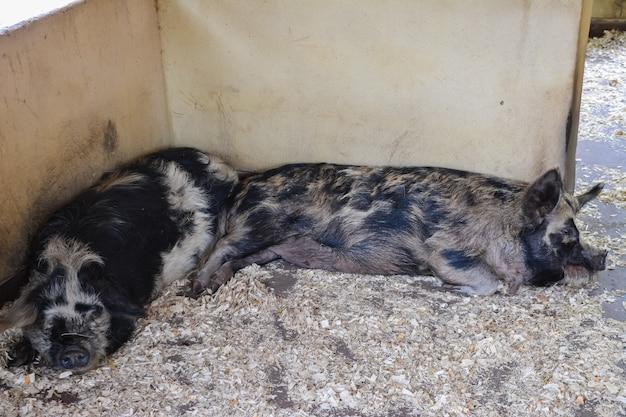 Porcos pintados de preto dormem sobre serragem no canto do recinto. fazenda.