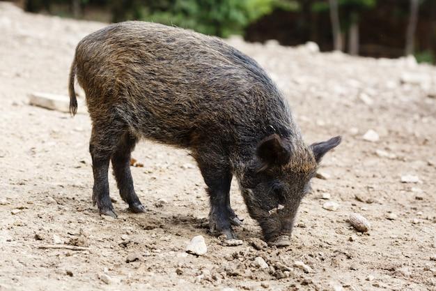 Porcos selvagens na floresta de verão