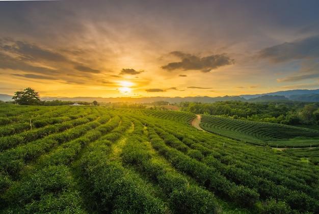 Pores do sol bonitos na plantação de chá de chui fong, província de chiang rai norte de tailândia.