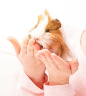 Porquinho da índia na mão de criança pequena