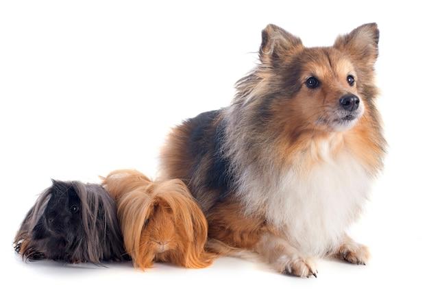 Porquinho-da-índia peruano e cão de shetland