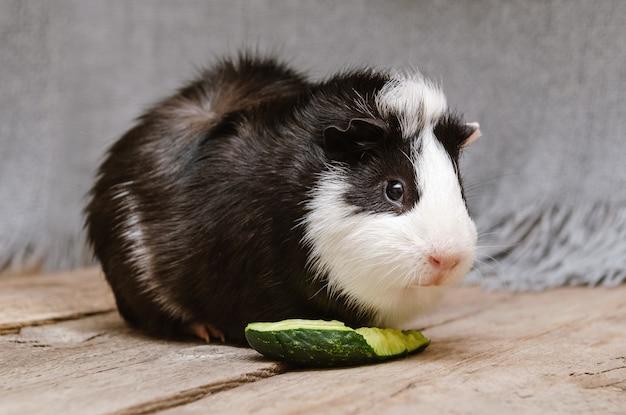 Porquinho da índia preto e branco comendo pepino fresco