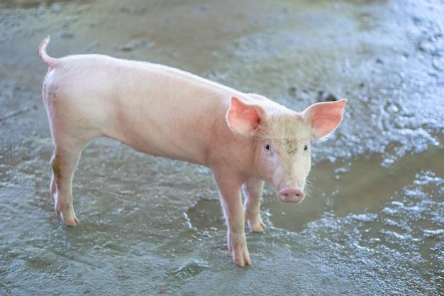 Porquinho de 2 meses de idade que parece saudável em uma fazenda de porcos asean local.