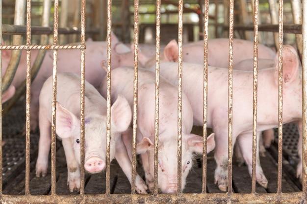 Porquinho na gaiola de ferro na fazenda de agricultura