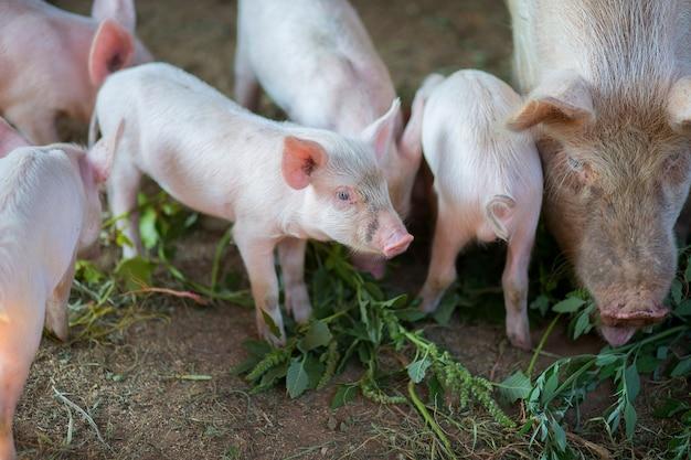 Porquinhos comem uma grama no chiqueiro com uma porca
