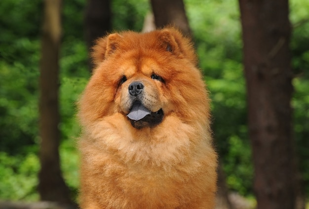 Portait do cachorro chow chow