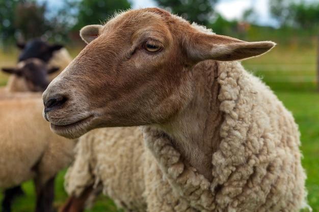 Portret de ovelhas no pasto em um pasto em uma fazenda.