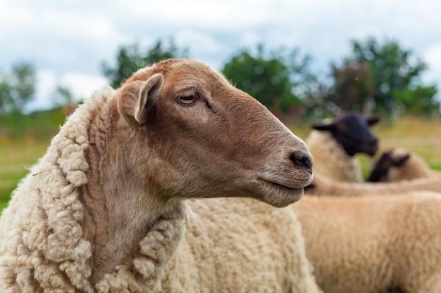 Portret de ovelhas no pasto em um prado em uma fazenda