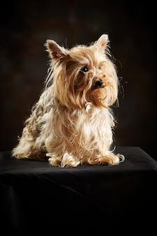 Posando de yorkshire terrier.