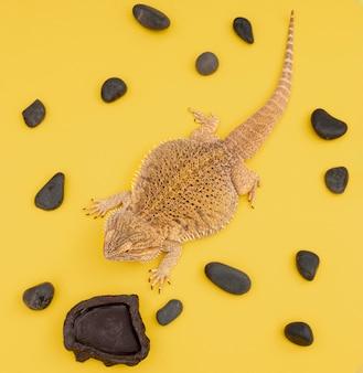 Posição plana de iguana animal de estimação com pedras