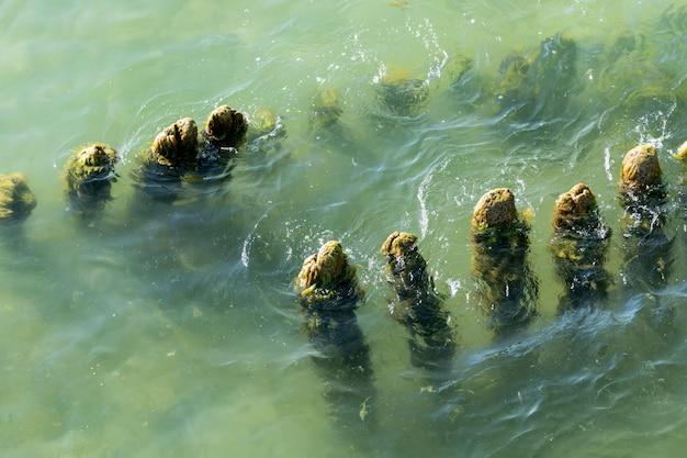 Postes de madeira velhos algas cobertas de vegetação
