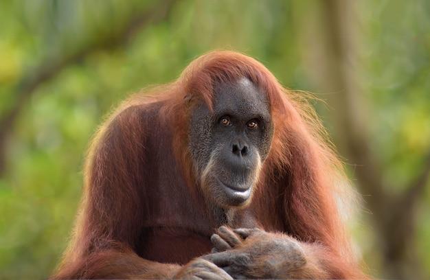 Postrait do orangotango