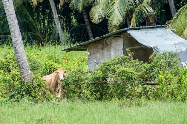 Postura de vaca na fazenda verde ao lado de coqueiro e casa de madeira