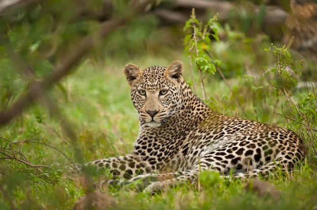 Postura leopardo