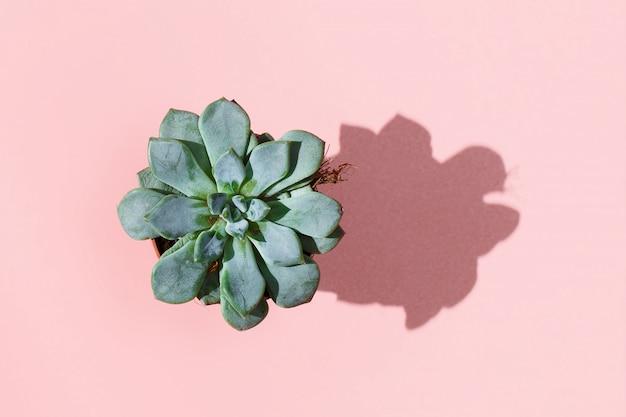 Postura plana de flor suculenta na panela em um rosa pálido