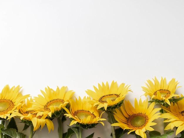 Postura plana de girassóis amarelos