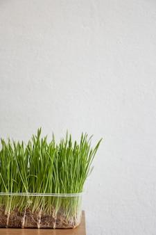 Pote com grama de trigo bandeja nutritiva de grama de trigo cultivada localmente