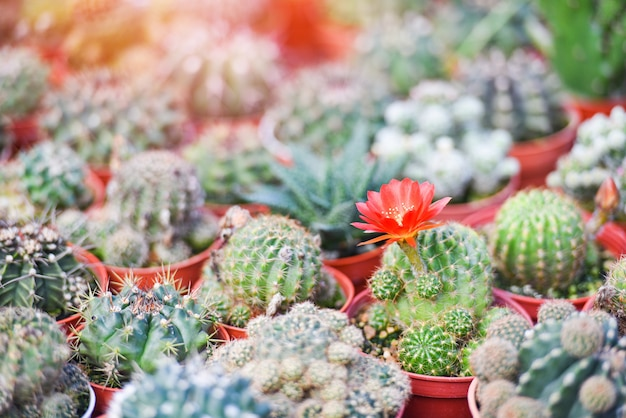 Pote de cacto em miniatura decorar na fazenda jardim - vários tipos mercado de cacto bonito ou cacto flor vermelha