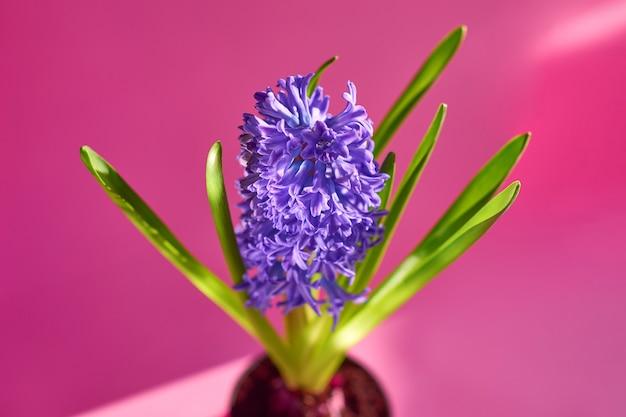 Pote de flor violeta jacinto de jardim com sombras e luzes da moda